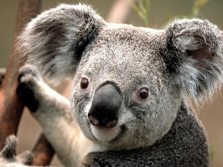 Koala.jpg.e29892449a2bbd3b409acf8a0382afd9.jpg